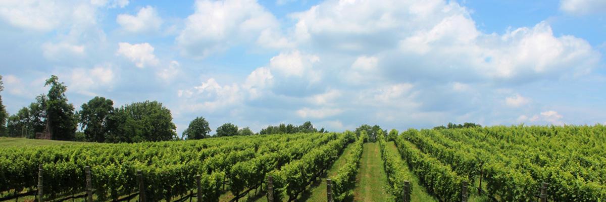View of a vinyard landscape